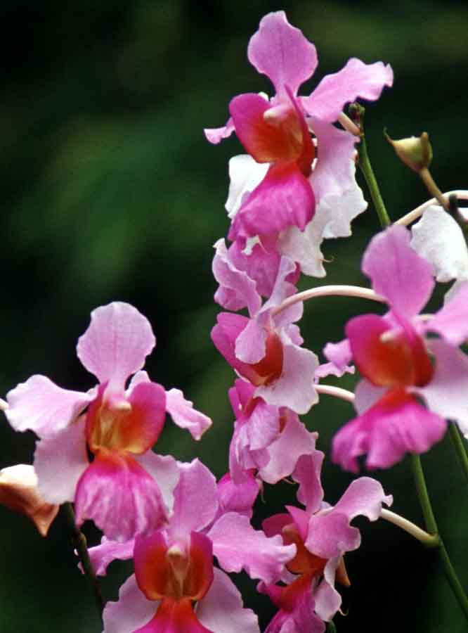Singapore Botanic Garden in the Heart of Orchid Hybridization